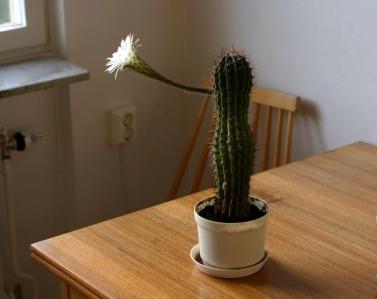 Kaktusblomma