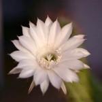 Min kaktus blommar!