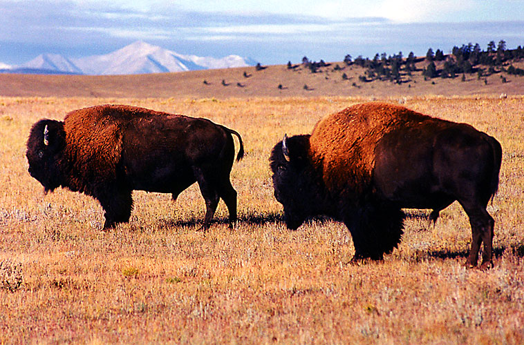 1999-09-buffalos.jpg